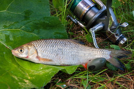 Close up view of the just taken from the water freshwater chub fish known as European chub (Squalius cephalus) and fishing rod with reel on green grass.  Reklamní fotografie