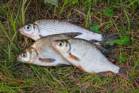 Several just taken from the water freshwater common bream known as bronze bream or carp bream (Abramis brama) and white bream or silver fish known as blicca bjoerkna on natural background.