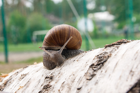 Roman Snail - Helix pomatia. Helix pomatia, common names the Roman, Burgundy, Edible snail or escargot, is a species of large, edible, air-breathing land snail, family Helicidae. Close up view of big snail crawling on the trunk of old birch tree trunk.  Stock Photo