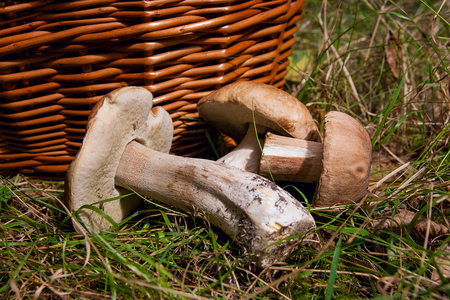 Harvested at autumn amazing edible mushrooms boletus edulis (king bolete) known as porcini mushrooms.