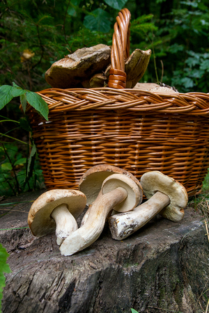 Harvested at autumn amazing edible mushrooms boletus edulis (king bolete) known as porcini mushrooms. Composition of several edible mushroom Boletus edulis (cep, penny bun, porcino, or king bolete, usually called porcini mushroom) and wicker basket on wooden background in forest.