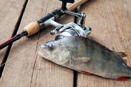 Freshwater perch and fishing rod with reel lying on vintage wooden background. Fishing concept, trophy catch - big freshwater perch fish just taken from the water and fishing equipment on vintage wooden background.