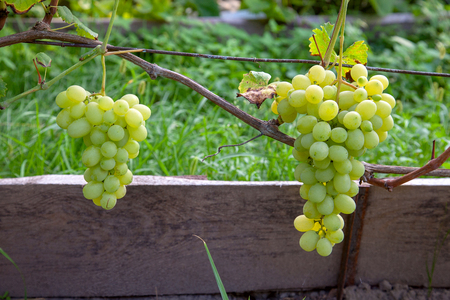 Bunches of green and yellow berries of grapes on branch with leaves in vineyard at autumn. Fresh ripe juicy grapes riping on branches in vineyard.
