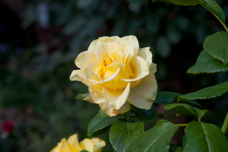 A bright yellow blossoming rose in the garden. Beautiful yellow rose growing on flower bed at sunny summer day. Banque d'images