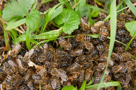 Close up view of bees and wasp swarming on honey drops in green grass. Honey drops on green grass and swarming insects on it.