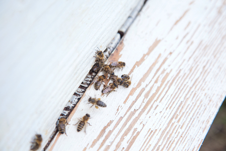 Plenty of bees at the entrance of white beehive in apiary. Busy bees, close up view of the working bees