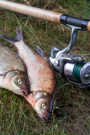 Good catch. Close up view of just taken from the water big freshwater common bream known as bronze bream or carp bream (Abramis brama) and fishing rod with reel on natural background.
