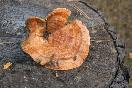 Harvested at autumn amazing edible mushroom Saffron Milk Cap known as Orange Milk Cap. Composition of edible mushroom Orange Milk Cap (False Saffron Milk Cap) on natural wooden background on sunny autumn day in wood.  Imagens