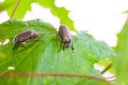Nahaufnahme von zwei europäischen Käferschädlingen - gemeine Maikäfer (Melolontha), auch bekannt als Mai-Käfer oder Doodlebug auf Ahornbaumast zur Sommerzeit. Schöner lebendiger detaillierter Hintergrund mit zwei Käferkäfern, die im Juni während des oberirdischen Erwachsenenstadiums seines Lebenszyklus grüne Ahornblätter essen. Standard-Bild