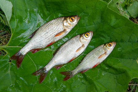 Freshwater fish just taken from the water. Pile of the common rudd fish on the big green leaf. 免版税图像