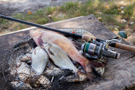 Fishing concept, trophy catch - big freshwater common bream known as bronze bream or carp bream (Abramis brama), several white bream or silver bream on landing net with fishery catch in it and fishing equipment on vintage wooden background.