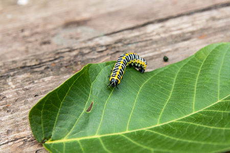 Beautiful caterpillar creeps on big green leaf. Caterpillar of the Old World Swallowtail (Papilio machaon), a butterfly of the family Papilionidae. The butterfly is also known as the common yellow swallowtail or simply the swallowtail.