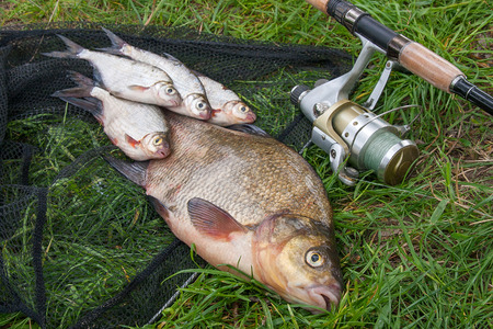 Pile of just taken from the water big freshwater common bream known as bronze bream or carp bream (Abramis brama) and white bream or silver fish known as blicca bjoerkna with fishing rod with reel on natural background. Natural composition of fish, black fishing net and fishing rod with reel on green grass.