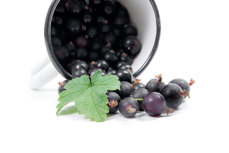 Close up view of white cup with black currant berry isolated on white background. A white cup with black currant berry and small bunch of black currant with small green leaf of currant bush in front o