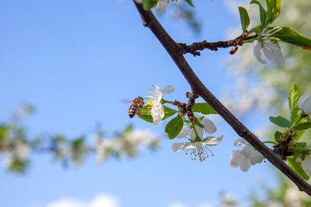 Orchard at spring time. Close up view of honeybee on white flower of apple tree collecting pollen and nectar to make sweet honey. Small green leaves and white flowers of apple tree in garden. Фото со стока