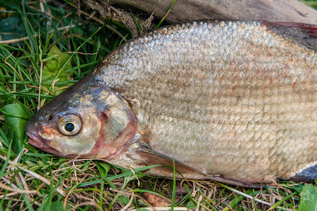 Freshwater fish just taken from the water. Several bream fish on green grass. Catching fish - common bream.
