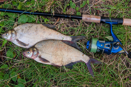 Freshwater fish just taken from the water. Catching freshwater fish and fishing rod with fishing reel on green grass. Several bream fish on natural background. Catching fish - common bream. Reklamní fotografie