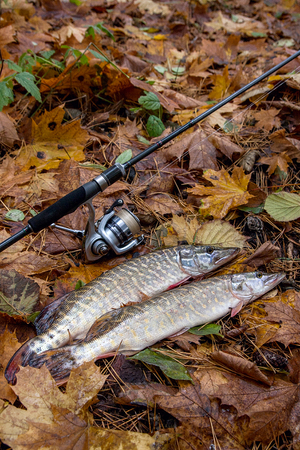 Freshwater Northern pike fish know as Esox Lucius and fishing rod with reel lying on   on yellow leaves at autumn time. Fishing concept, good catch - big freshwater pike fish just taken from the water and fishing equipment.