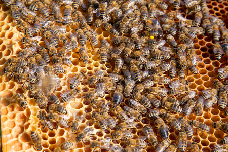 Frames of a beehive. Busy bees inside the hive with open and sealed cells for sweet honey. Bee honey collected in the beautiful yellow honeycomb.