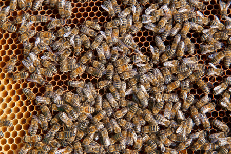 Frames of a beehive. Close up view of the working bees on honeycomb. Bees close up showing some animals and honeycomb structure.