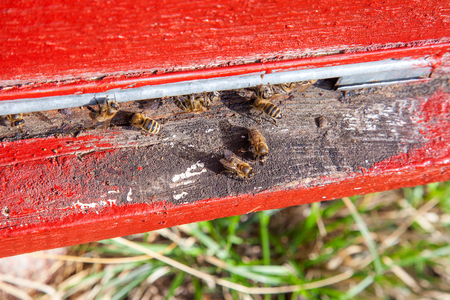 Frames of a beehive. Plenty of bees at the entrance of old beehive in apiary. Busy bees, close up view of the working bees on textured old plank. Reklamní fotografie