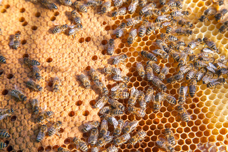 Frames of a beehive. Busy bees inside the hive with open and sealed cells for their young. Birth of o a young bees. Close up showing some animals and honeycomb structure.