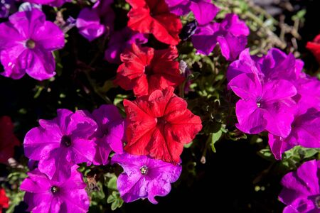 Petunia is genus of many species of flowering plants South American origin, closely related to tobacco, cape gooseberries, tomatoes, deadly nightshades, potatoes and chily peppers; in family Solanaceae Stock Photo