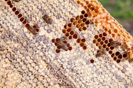 Frames of a beehive. Busy bees inside the hive with open and sealed cells for sweet honey. Bee honey collected in the beautiful yellow honeycomb. Imagens - 130188955