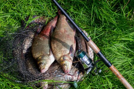 Good catch. Just taken from the water big freshwater common bream known as bronze bream or carp bream (Abramis brama) and fishing rod with reel on natural background. Natural composition of fish and fishing rod with reel on green grass. 免版税图像