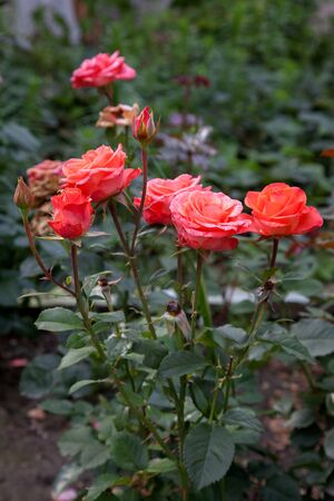 A pink blossoming roses in the garden. Beautiful pink  rose bush growing on flower bed at sunny summer day.