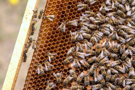 Frames of a beehive. Busy bees inside the hive with open and sealed cells for their young. Birth of o a young bees. Close up showing some animals, honeycomb structure and small white worms.