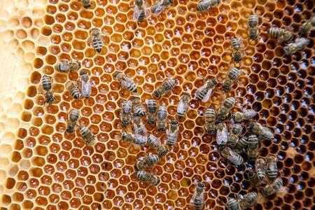 Vista ravvicinata delle api che lavorano sul favo con miele dolce. Favo giallo appena preso dall'alveare con miele dolce. Miele d'api raccolto nel bellissimo favo giallo.