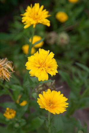 Yellow marigold flowers on the blurred background of the garden of nature. Yellow calendula flower in the garden, top view calendula field. Medicinal plant 写真素材