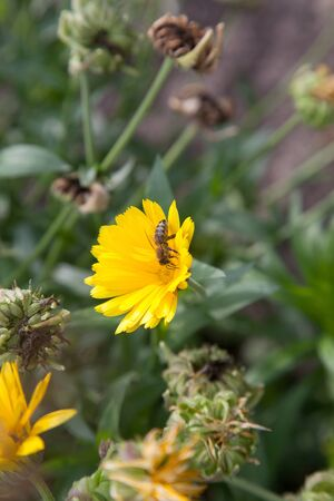 Yellow marigold flowers and small working bee on the blurred background of the garden of nature. Yellow calendula flower in the garden, top view calendula field. Medicinal plant 写真素材