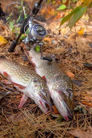 Fishing concept, trophy catch - two big freshwater pike fish know as Esox Lucius just taken from the water. Freshwater Northern pike fish know as Esox Lucius and fishing equipment on yellow leaves at