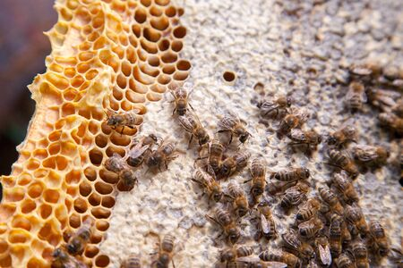 Close up view of the working bees on the honeycomb with sweet honey. Yellow honeycomb just taken from beehive with sweet honey. Bee honey collected in the beautiful yellow honeycomb.