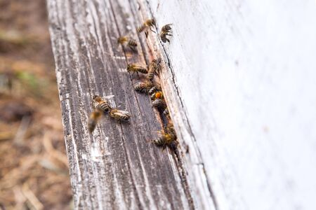 Plenty of bees at the entrance of beehive in apiary. Busy bees, close up view of the swarming bees on white plank.