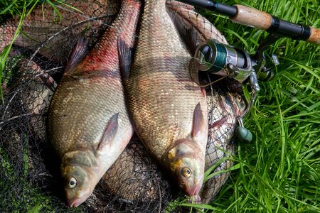 Good catch. Just taken from the water big freshwater common bream known as bronze bream or carp bream (Abramis brama) and fishing rod with reel on natural background. Natural composition of fish and f