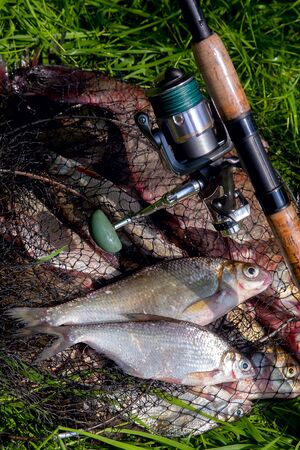 Fishing concept. Freshwater fish and fishing rods with reels on keepnet with fishery catch in it. Two freshwater white bream or silver bream on keepnet with common breams known as bronze breams or car