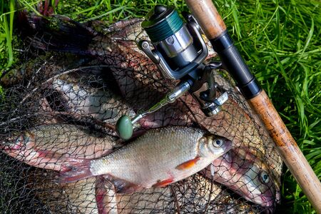 Fishing concept. Freshwater fish and fishing rods with reels on keepnet with fishery catch in it. Single freshwater white bream or silver bream on keepnet with common breams known as bronze breams or