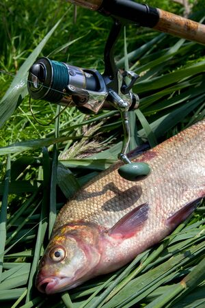 Good catch. Just taken from the water big freshwater common bream known as bronze bream or carp bream (Abramis brama) and fishing rod with reel on green reed. Natural composition of fish and fishing r