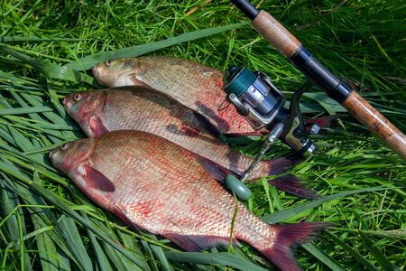 Good catch. Just taken from the water big freshwater common bream known as bronze bream or carp bream (Abramis brama) and fishing rod with reel on green reed. Natural composition of fish pile and fish