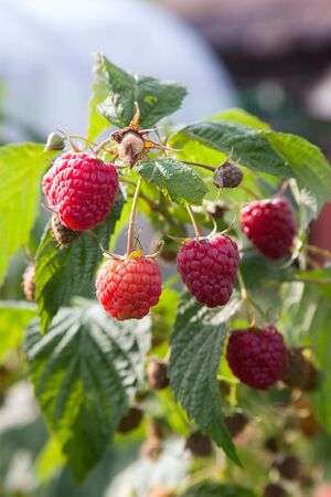 Lots of red ripe raspberries on a bush. Close up of fresh organic berries with green leaves on raspberry cane. Summer garden in village. Growing berries harvest at farm. 写真素材
