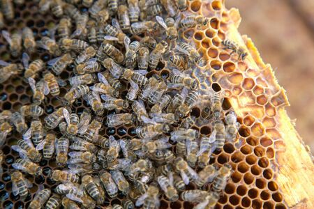 Close up view of the working bees on the honeycomb. Bee honey collected in the beautiful yellow honeycomb just taken from beehive.