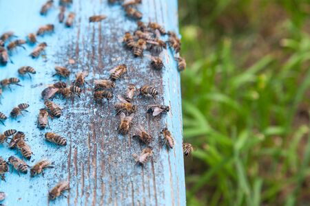 Plenty of bees at the entrance of beehive in apiary. Busy bees, close up view of the swarming bees on light blue plank. 写真素材