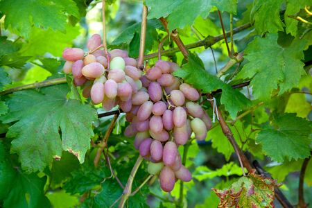 Bunch of pink grapes with big berries hanging on grapes bush in a vineyard. Close up view of bunch pink grapes hanging in garden after rain