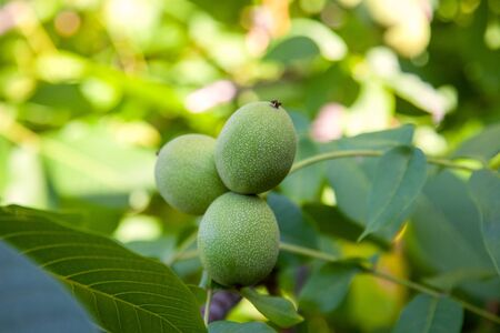 Fresh walnuts hanging on a tree in the blue background. Green walnut brunch with unripe fruits in the garden. 写真素材