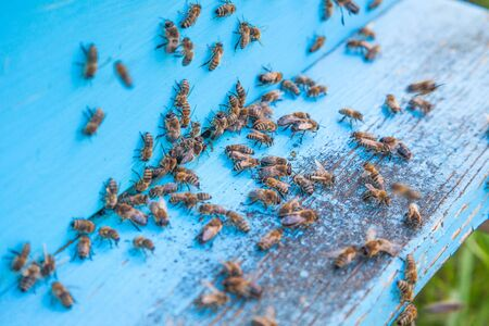 Plenty of bees at the entrance of beehive in apiary. Busy bees, close up view of the swarming bees on light blue plank. Imagens - 133803498