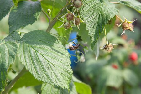 Lots of red ripe raspberries and small working bee on raspberry flower on a bush. Close up of fresh organic berries with green leaves on raspberry cane. Summer garden in village. Growing berries harvest at farm. Stock Photo