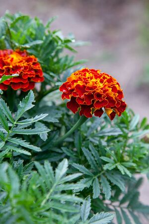 Close up of beautiful Marigold flower (Tagetes erecta, Mexican, Aztec or African marigold) in the garden. Marigold background or tagetes card.
